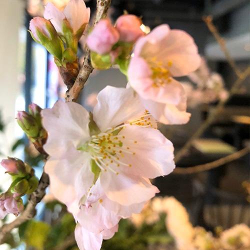 櫻花爛漫盛宴
